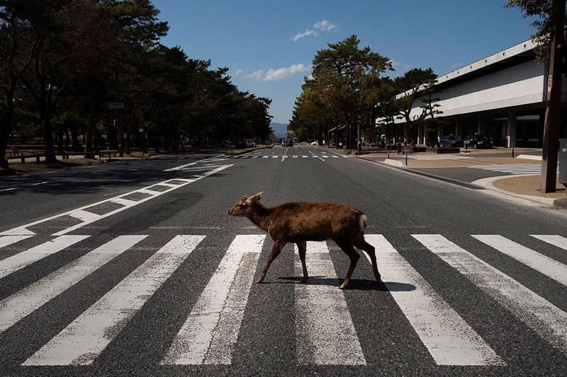 Bildet viser hjort som går over et fotgjenger-felt i Japan. Ville dyr går inn i byene når menneskene er i karantene.