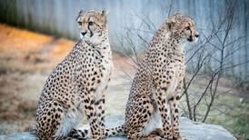 Nye geparder til Dyreparken