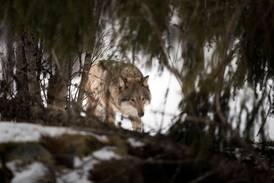 Ulven gjør folk sinte – igjen