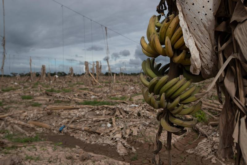 Bildet er av et jorde med mange ødelagte trær. Helt i forgrunnen er en enslig palme med bananer. Det er en ødelagt banan-plantasje i La Lima i Honduras.