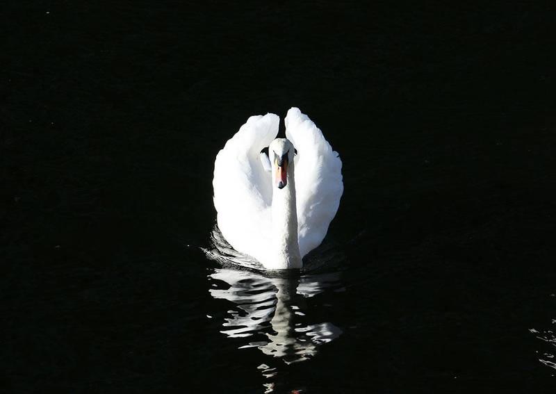 Bildet viser en svane. Den svømmer rundt Tjuvholmen i Oslo.