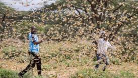 Grådige gresshopper herjer i Afrika