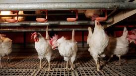 Avliver høns på grunn av fugleinfluensa