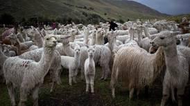 Kulde drepte 50.000 alpakkaer i Peru