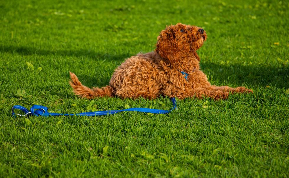 Hunden Bodil ligger på gresset og ser opp mot eieren sin.