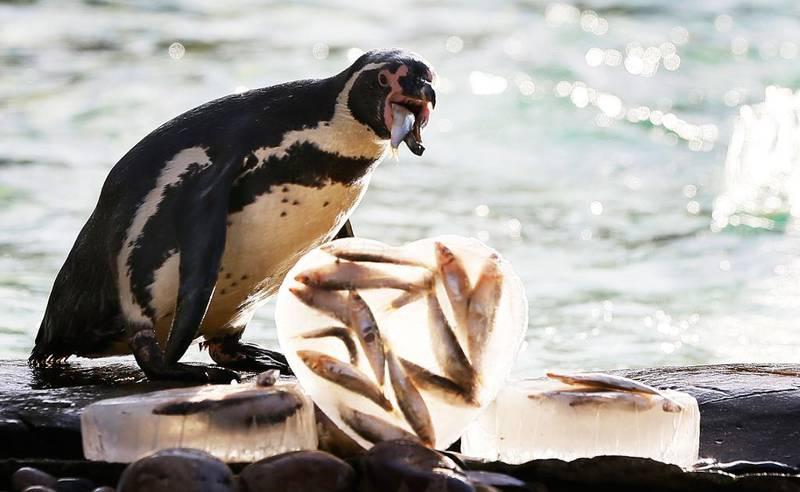 FEIRER: Pingviner i London Zoo i Storbritannia spiser hjerter fylt med fisk.