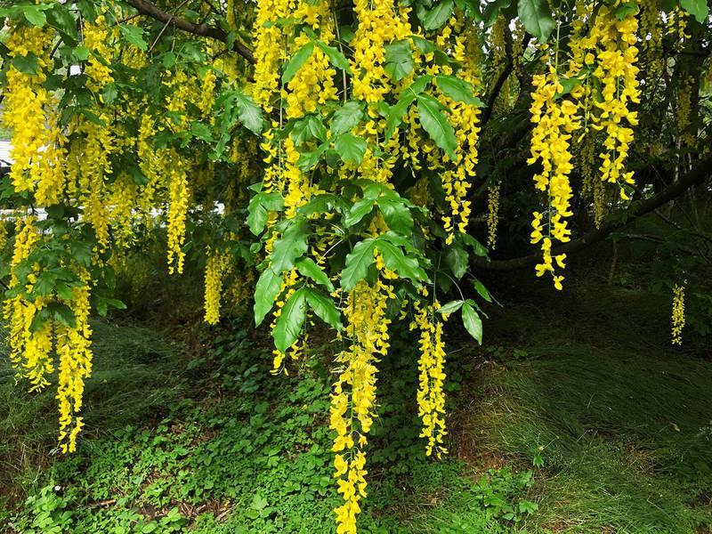 Bildet viser gule ranker med blomster som henger ned.