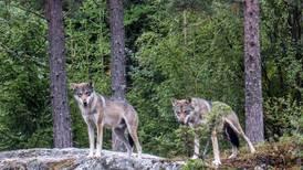 To av tre flokker med ulv får leve